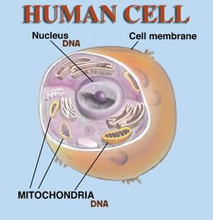 เซลล์มนุษย์